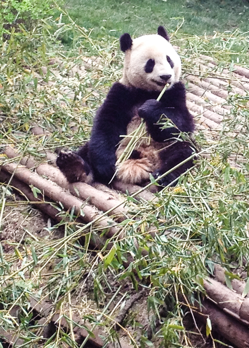 Panda sits on the ground eating a bamboo stick.