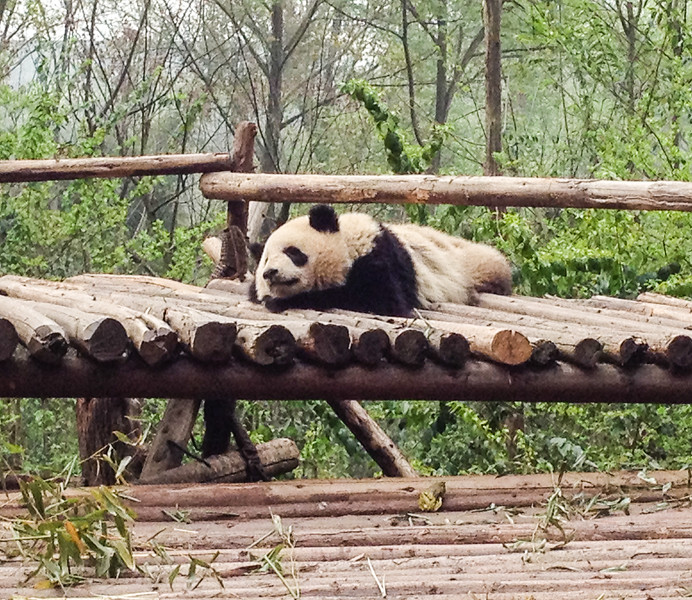 A black and white panda bear rests on a wooden platform in the trees.
