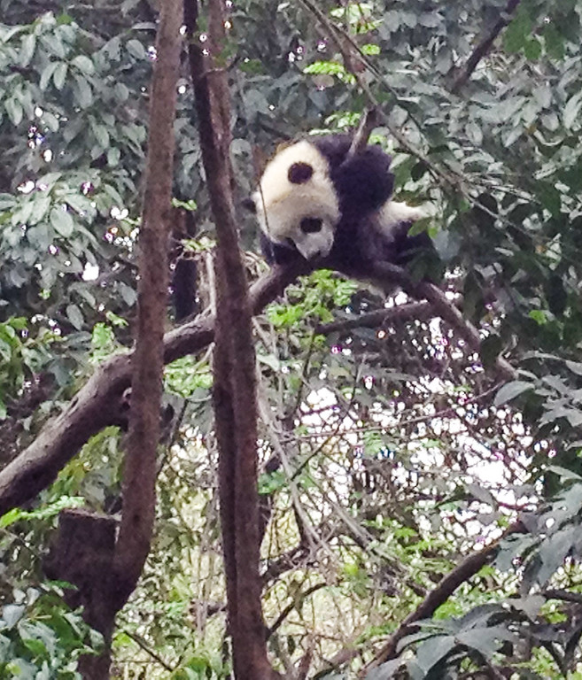 A black and white panda sits on the branches of a tree surrounded by green leaves.