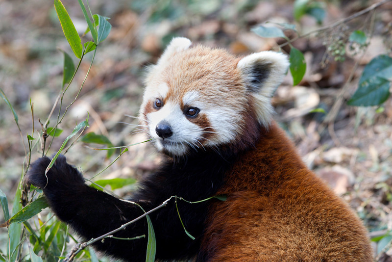 Okay, I'm a red panda, not related to those black and white guys, but I live in China and eat bamboo just like they do.  And, I'm pretty cute too if you ask me.