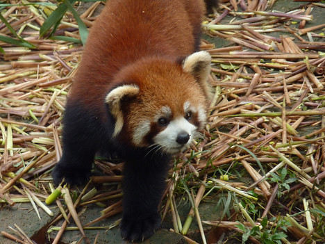 Red Panda, Chengdu - China