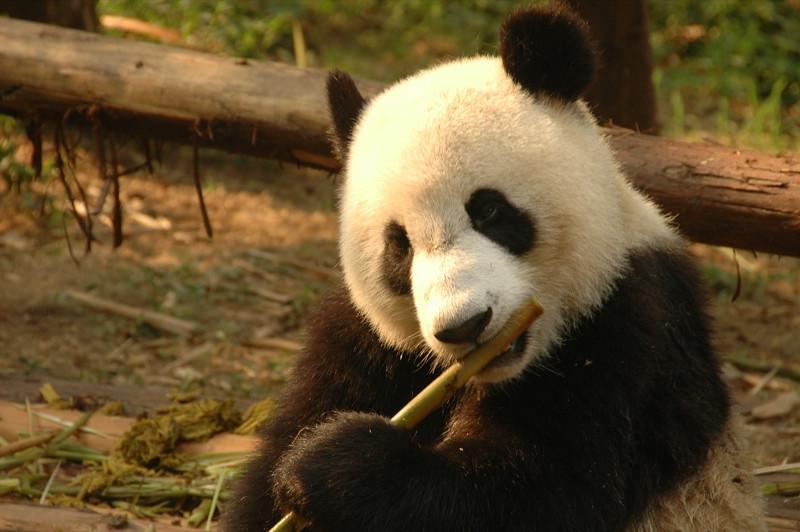 Panda Eating Bamboo - Chengdu, China