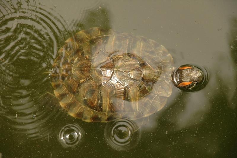 Turtle in the Water - Chengdu, China
