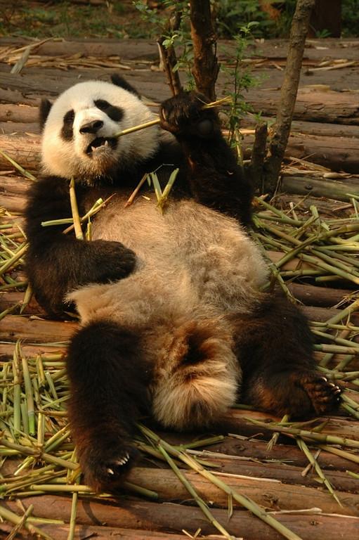 Relaxing Panda - Chengdu, China