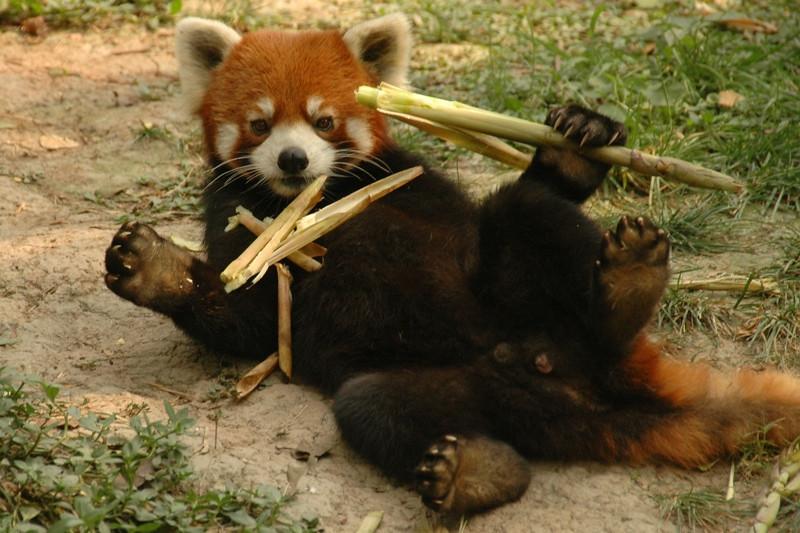 Red Panda Eating Bamboo - Chengdu, China