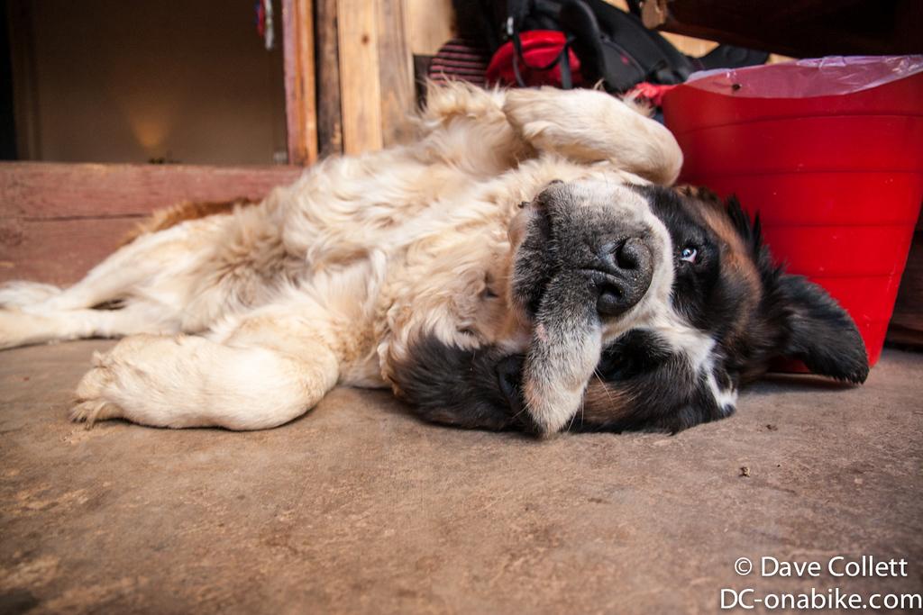 Mali- the cute massive dog at my hostel