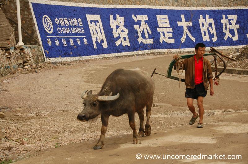 Water Buffalo - Guizhou Province, China