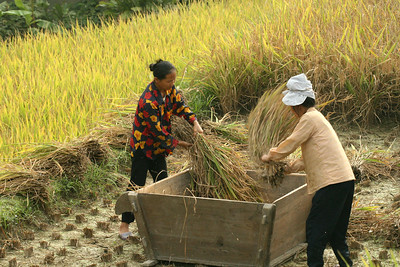 Harvesting and threshing rice in Paika village.