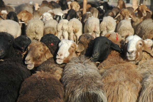 Kashgar Animal Market: Sheep for Sale - China
