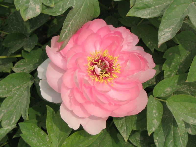 The Peony, China's National Flower