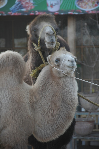 Kashgar Animal Market: Two Animals - China