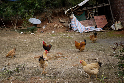Chickens wander the yard of a house outside of Yangshuo, China.
