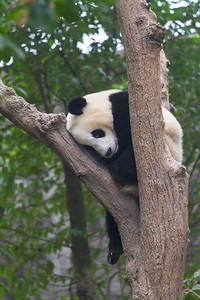Panda bear nestled in the crook of a tree.