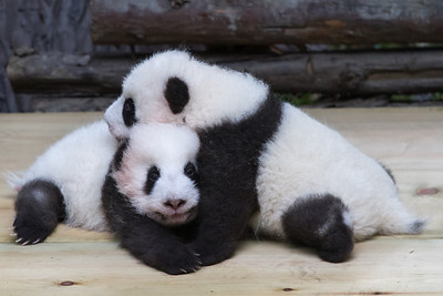 Outrageously cute baby panda bears.