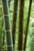 Bamboo Stalks - Ping An