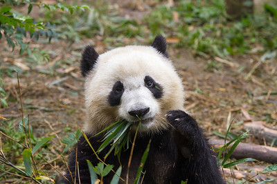 Panda bear eating bamboo.