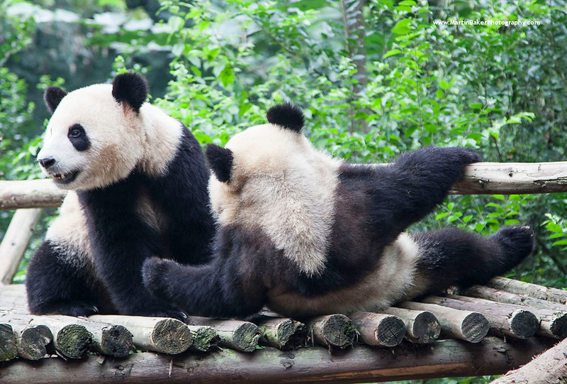 Giant pandas, Giant Panda Breeding Research Base, Chengdu, Sichuan province, China.