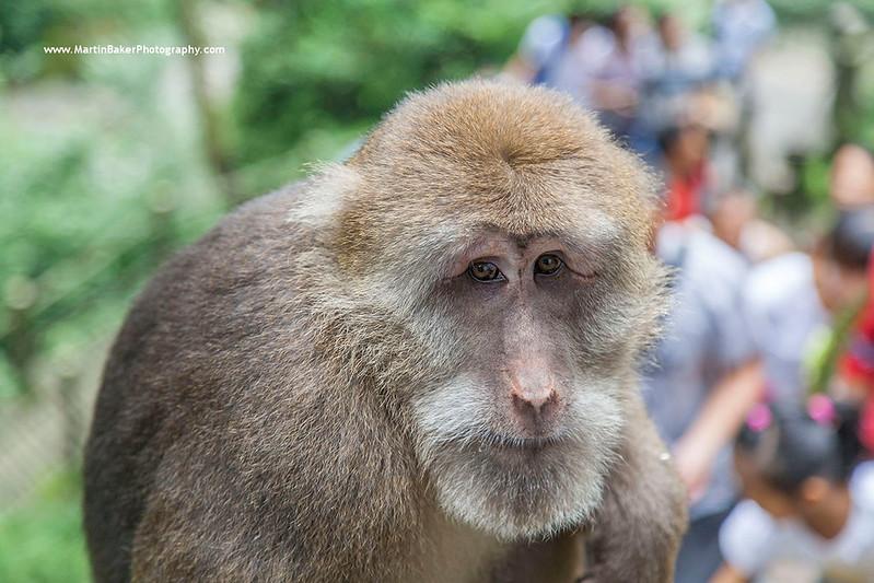 Tibetan Macaque, Emei Shan, Sichuan province, China.