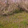 Cy 0547 Moraea sisyrinchium
