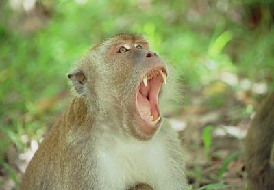 Macaque, Sapi island, Tunku Abdul Rahman marine park