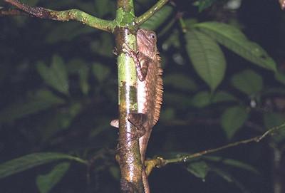 Iguana, Mulu NP