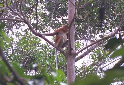 Proboscis monkey, Bako NP
