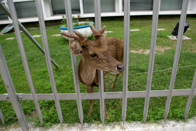 Pet deer looking out a fence in Dili, East Timor