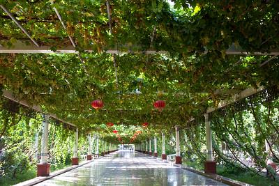 Grape trellis covering road in Turpan, Xinjiang, China.