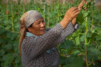 Turpan, Xinjiang, China - September 18,2009: Uyghur woman working in a melon farm in Turpan. (Photo by: Christopher Herwig)