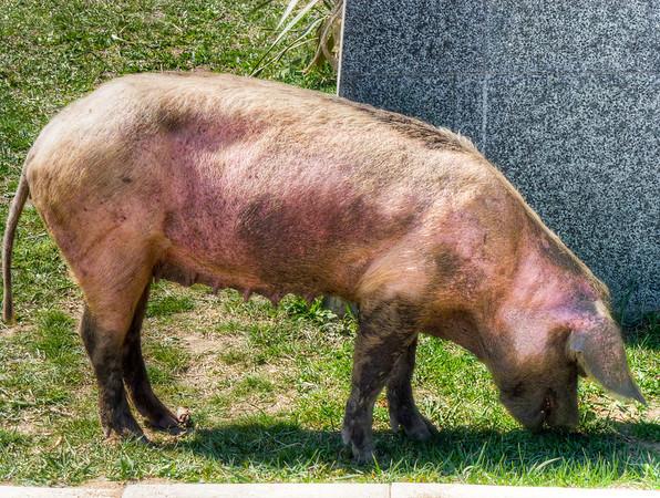 georgian pig mtskheta