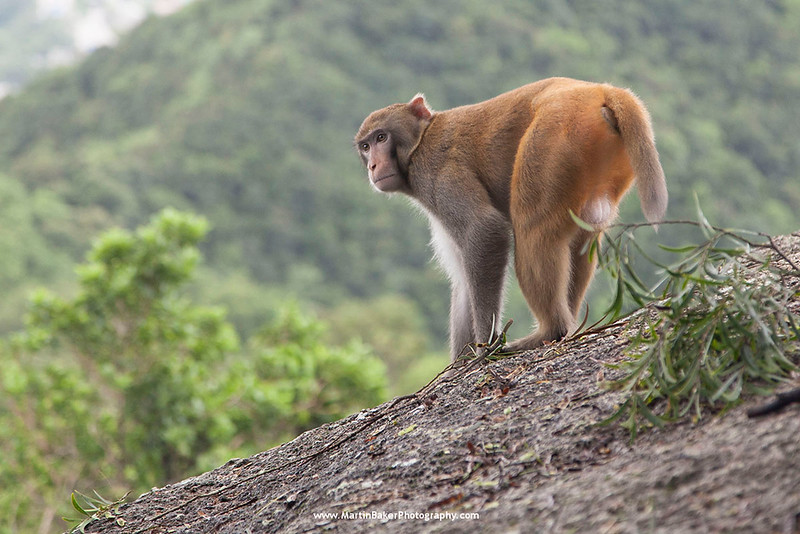 Long-tailed Macaque, Lion Rock Country Park, New Territories, Hong Kong, China.
