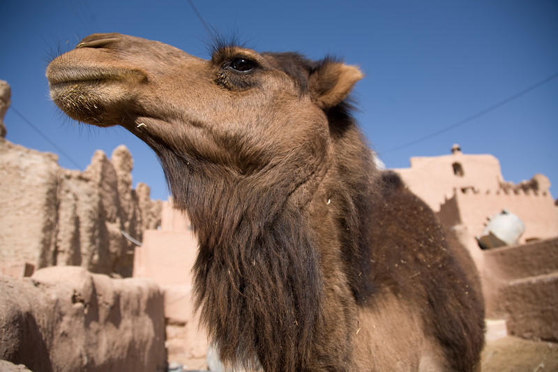 Garmeh, Iran - February, 2008: Camel in the tiny mud brick desert oasis of Garmeh in central Iran. A natural spring brings life to this otherwise dry and hostile landscape. (Photo by Christopher Herwig)
