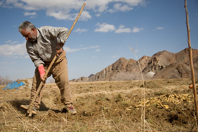 Kharanaq, Iran - February, 2008: Farmers harvesting a crop of carrots outside the historical ancient city of Kharanaq which lies in a dramatic valley where rugged mountains, desert and farmland  all come together.  (Photo by Christopher Herwig)