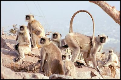 Langurs, Pushkar
