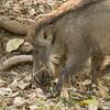 Wild boar, Rhanthambhore NP