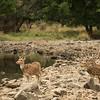 Chital (axis) deer.  Ranthambhore NP