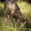Rufous treepies on sambar deer, Rhanthambhore NP