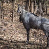 Male nilgai (Indian blue bull).  India's largest antelope.  Rhanthambhore NP