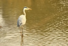 Grey Heron (Ardea cinerea), in Satpura National Park