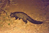 The Asian Palm Civet (Paradoxurus hermaphroditus), also called Toddy Cat, is a small member of the Viverridae family native to South and Southeast Asia