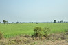 Wheat fields between Bhopal and Satpura NP