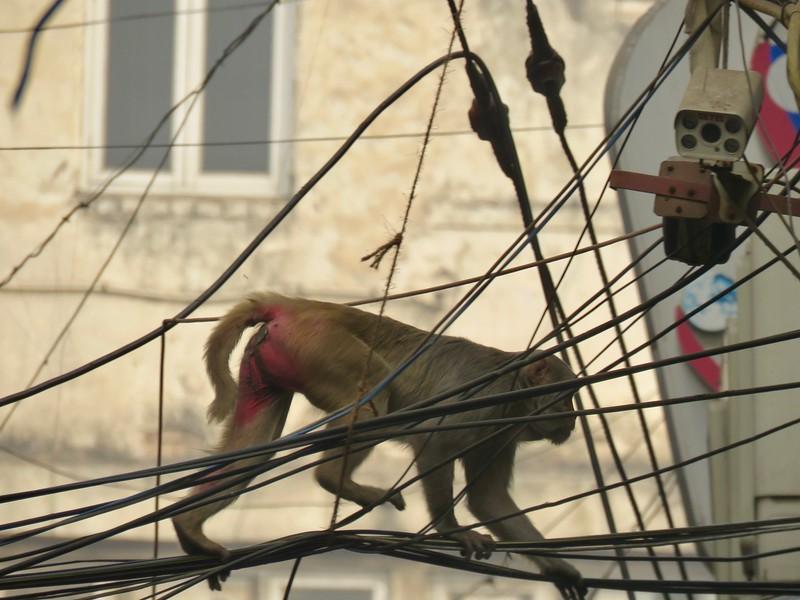 monkey Old Delhi