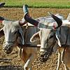 delwara bullocks