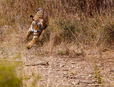 Running Royal Bengal Tiger, Ranthambhore National Park