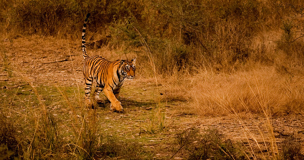 Royal Bengal Tiger, Ranthambhore National Park