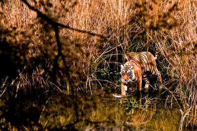 Royal Bengal Tiger wades into the lake; Ranthambhore National Park