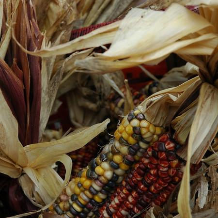 Indian Corn - Nottaway Park, Virginia