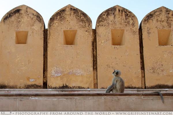 Monkey in Jaipur