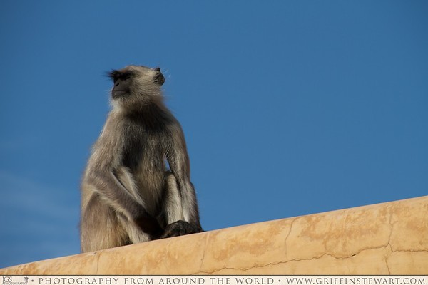 Monkey in Amber Fort Close
