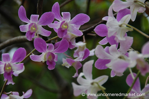 Orchids - Kerala, India